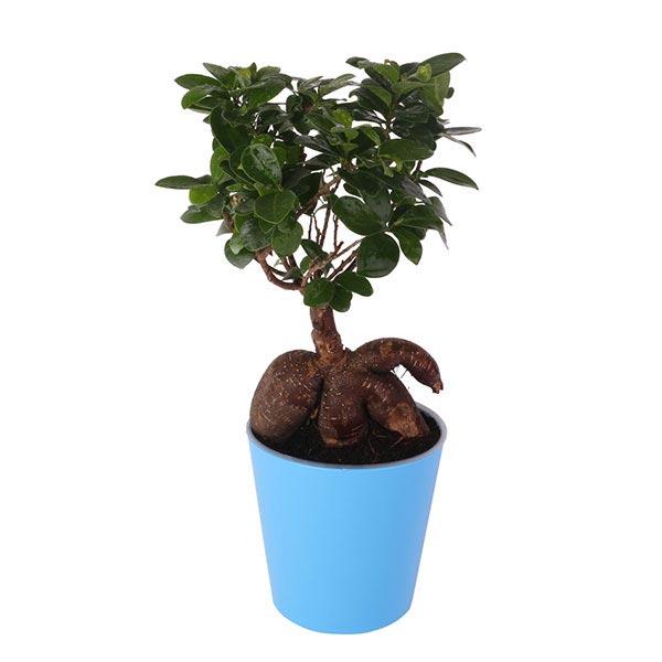 Ficus Bonsai Blue Pot