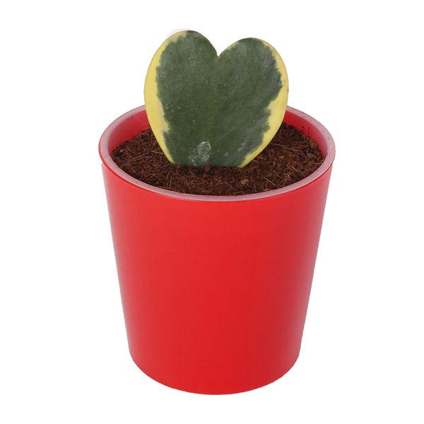 Heart Shape Plant Mix in Red Pot