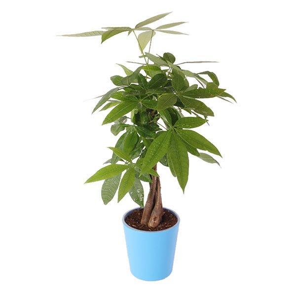 Money Tree in Blue Pot