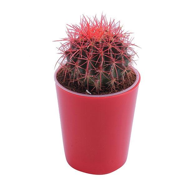 Red Barrel Cactus in Red Pot